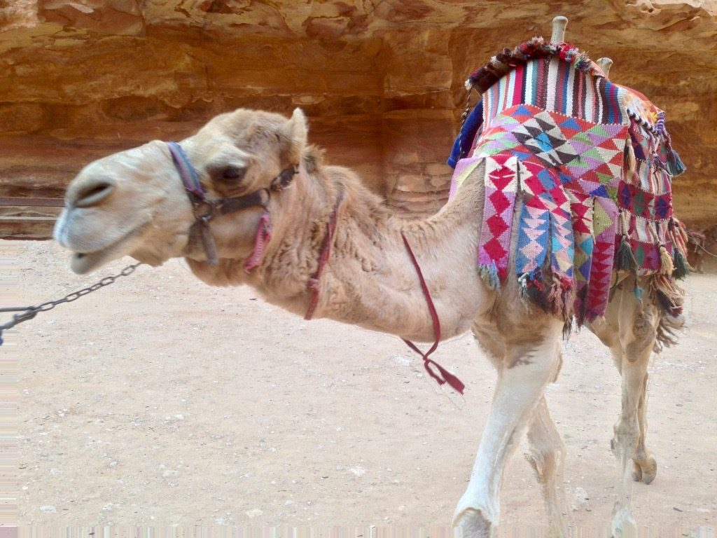 Un cammello a Petra