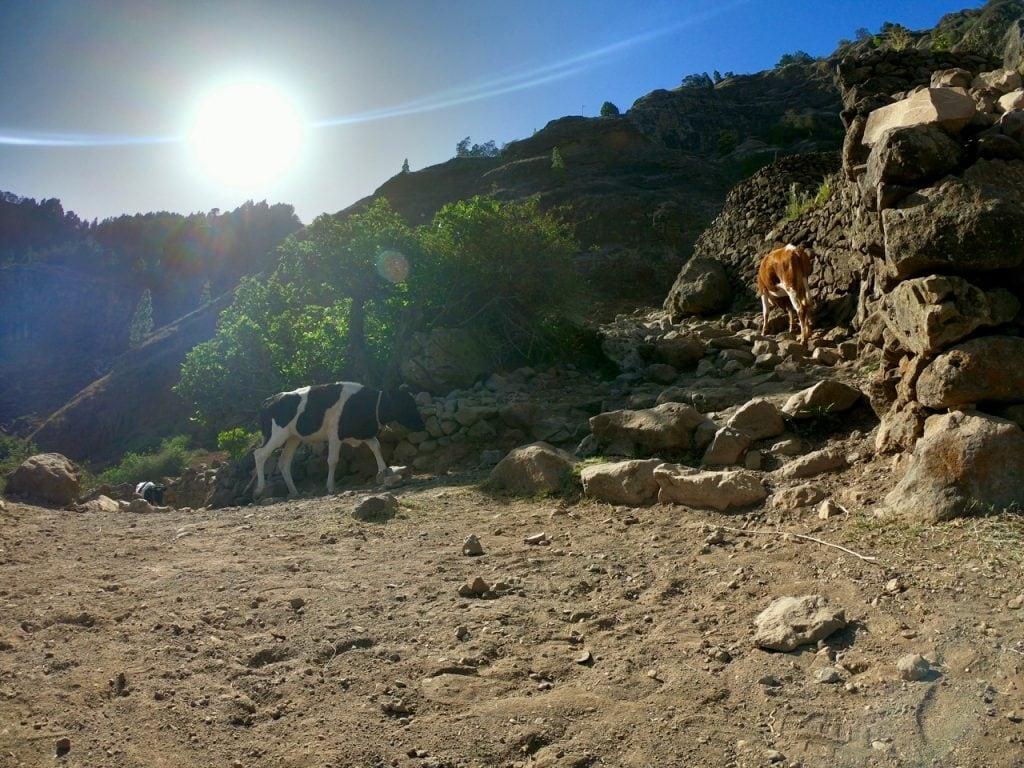Delle mucche sui sentieri di Cova