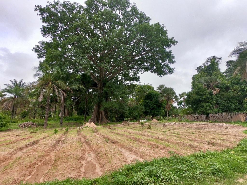 Un enorme kapok dietro a una coltivazione di arachidi