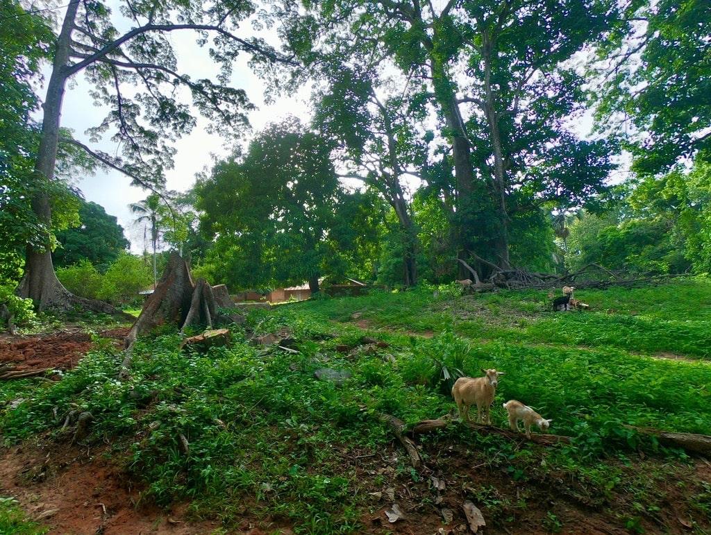 Il bosco di Oussouye con delle capre in primo piano