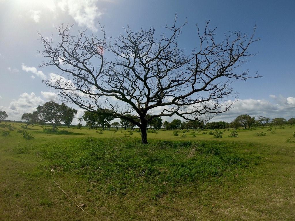 Un albero nella pianura paludosa di Pointe-Saint-Georges