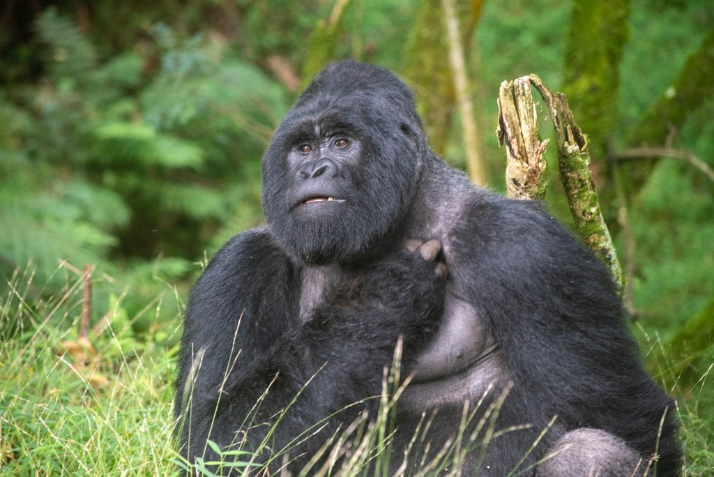 viaggio uganda gorilla di montagna
