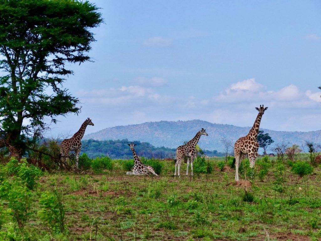 giraffe kidepo uganda