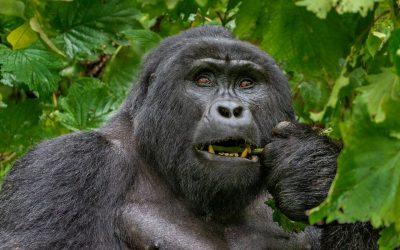 Gorilla di montagna: 19 curiosità sorprendenti