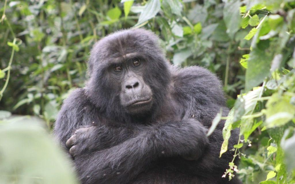 gorilla scimmia