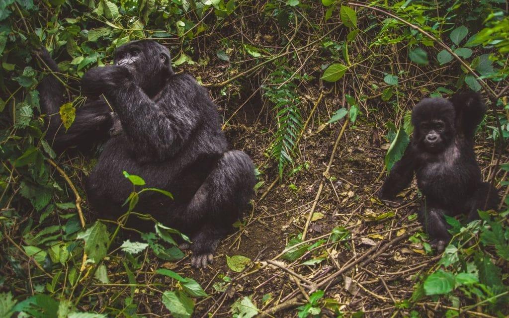gorilla di montagna uganda