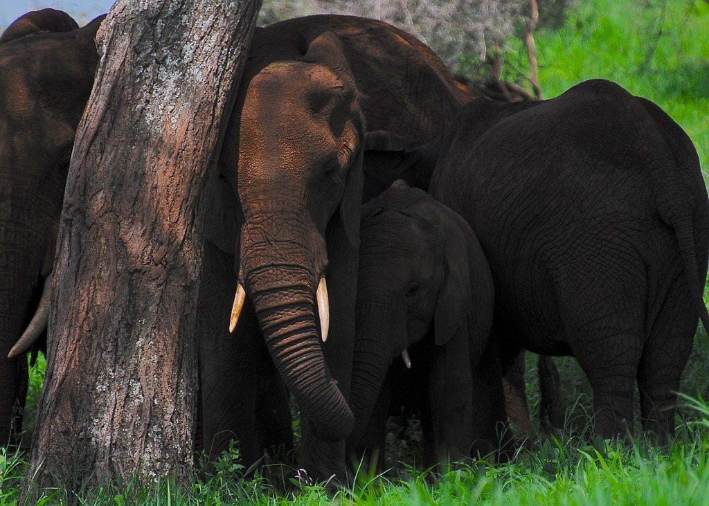 elefante safari tarangire national park