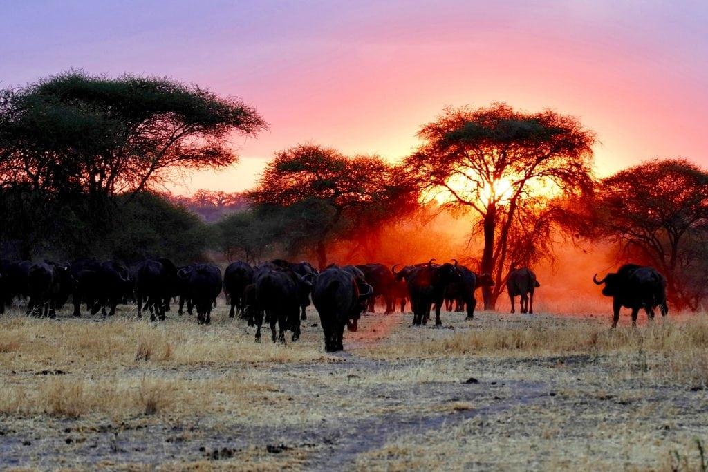 safari tarangire bufali