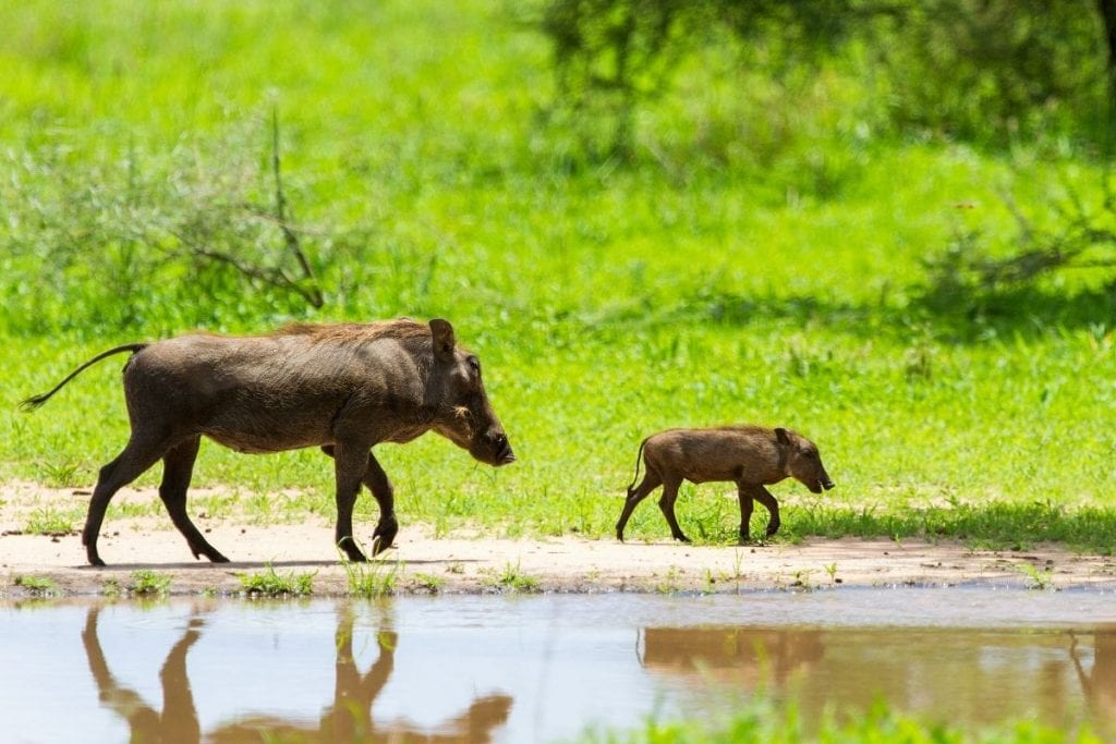 facoceri safari tanzania