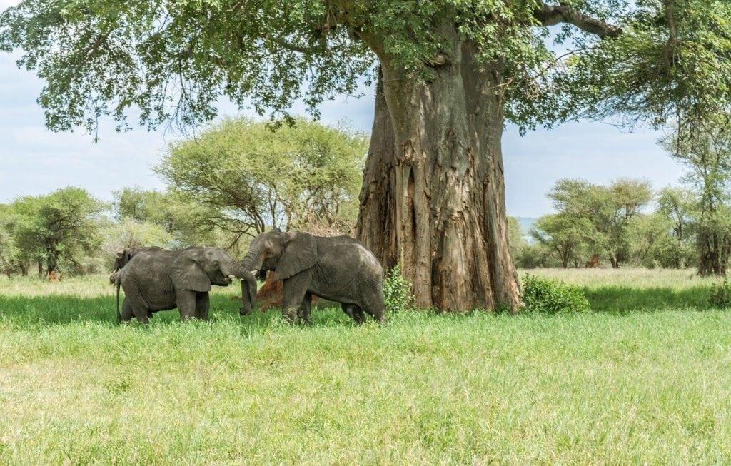 tarangire tanzania baobab