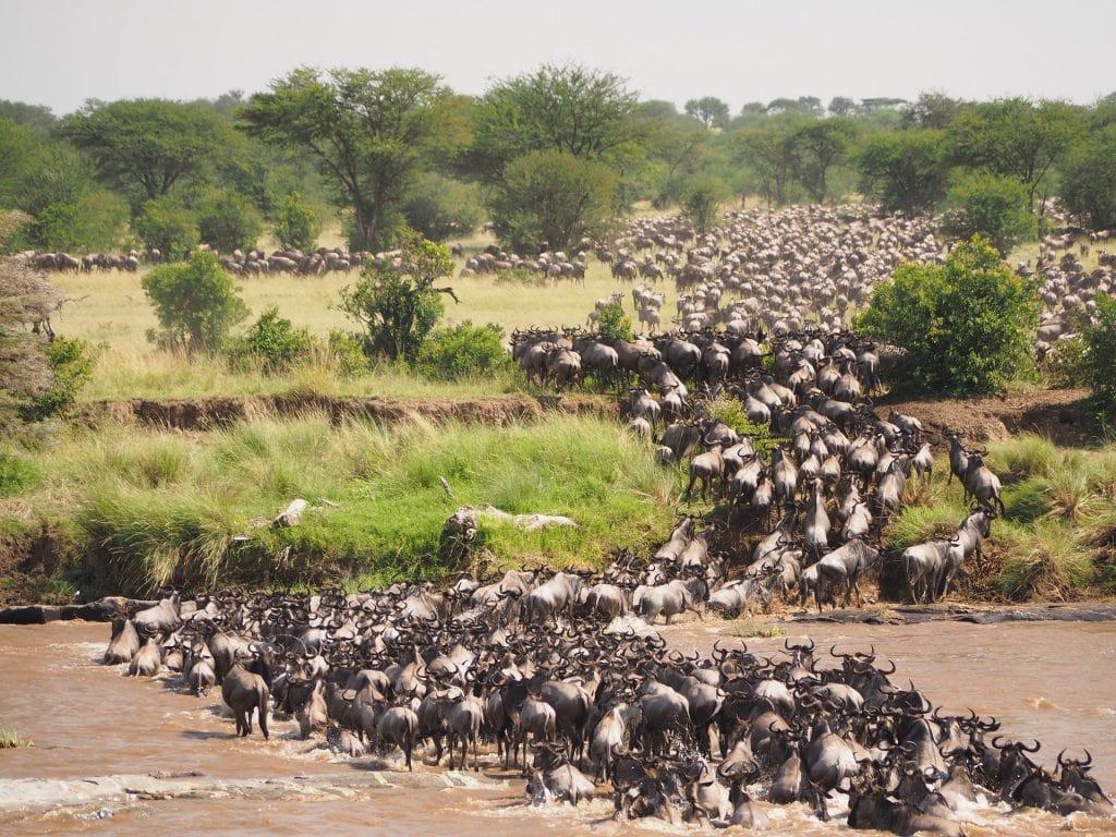 migrazione serengeti fiume