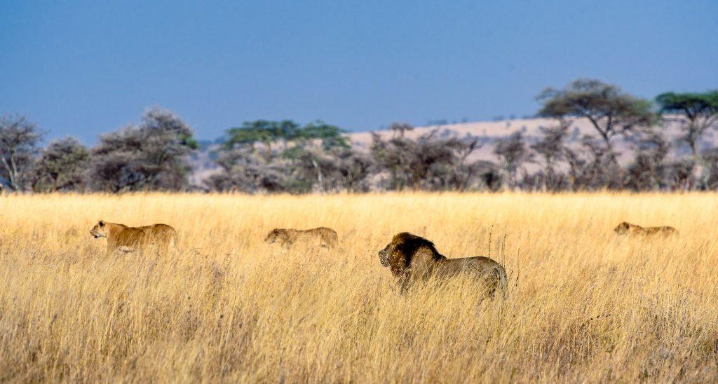 i leoni del serengeti