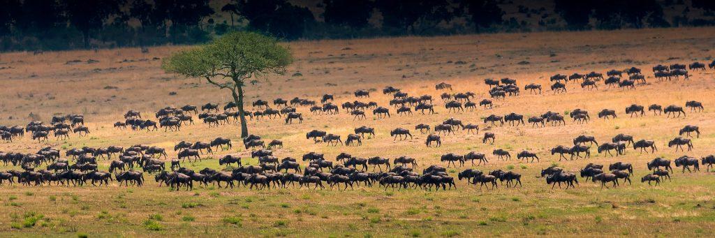 grande migrazione gnu serengeti